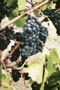Cure de raisin pour l'automne