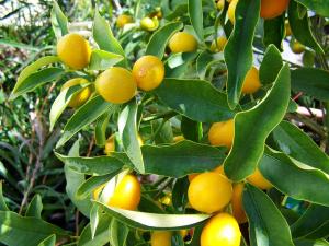 Boire du citron le matin